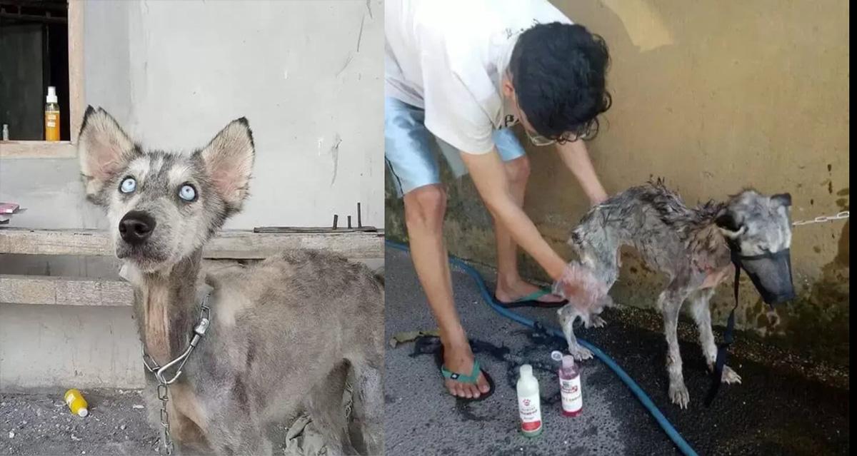 Cão Husky siberiano resgatado e sua transformação