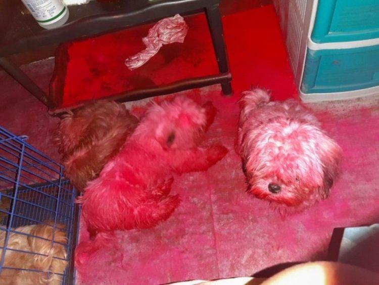 Cães shih tzu completamente cobertos de pigmento rosa