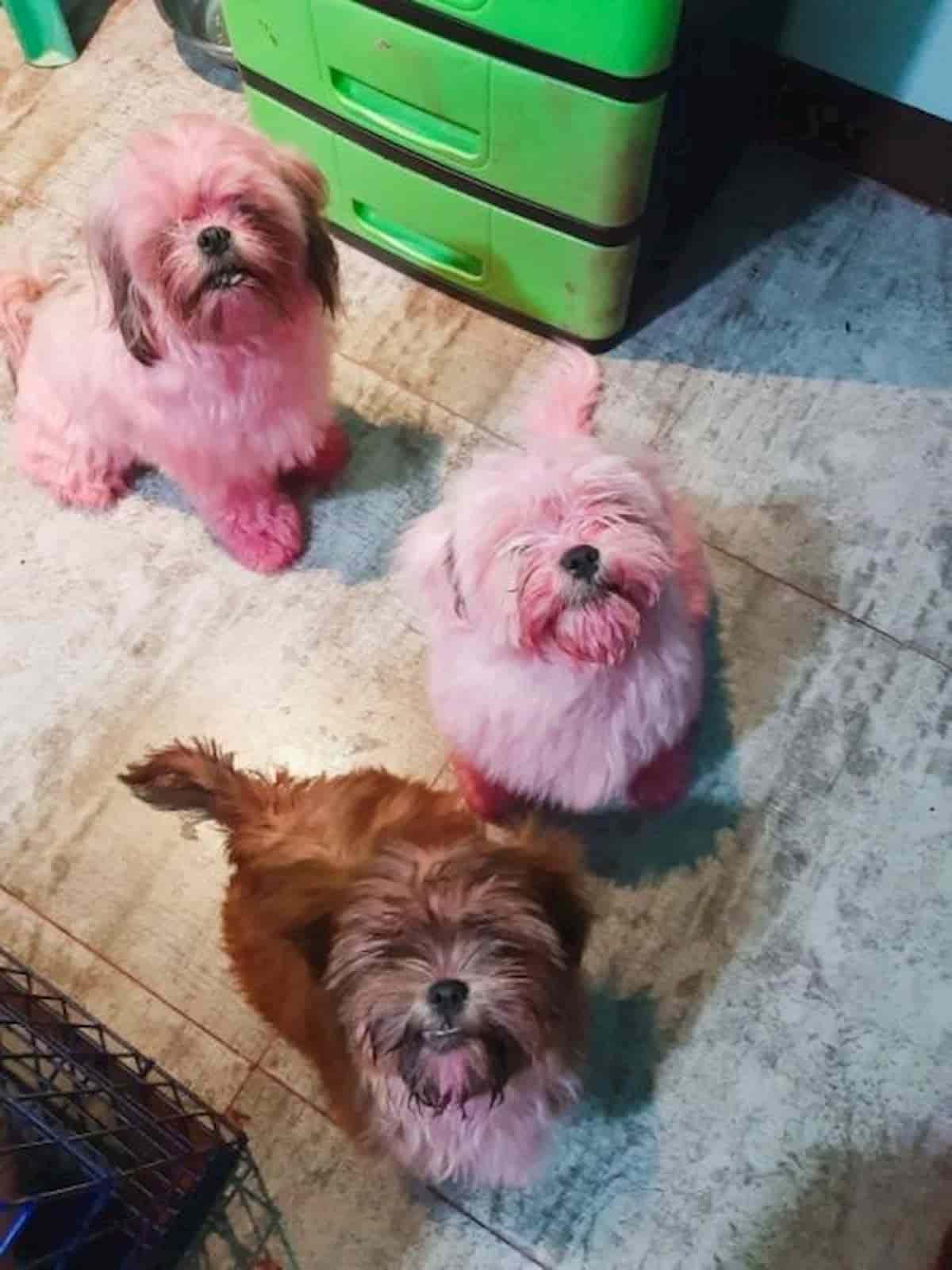 Tres cães Shih-Tzu depois do banho ainda manchados de rosa da maquilhagem