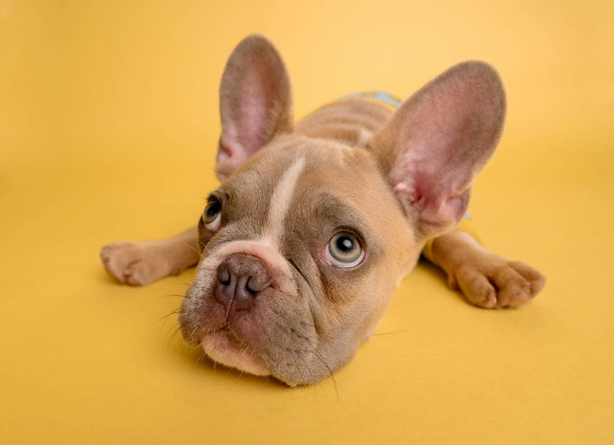 Cão vomita espuma branca, bulldog francês