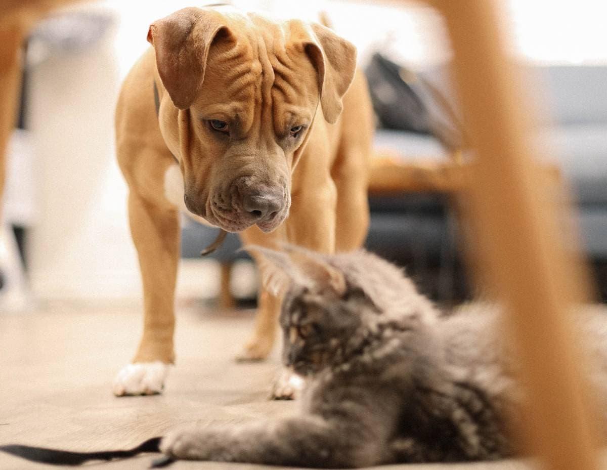 Cão a olhar para um gato, animal de estimação