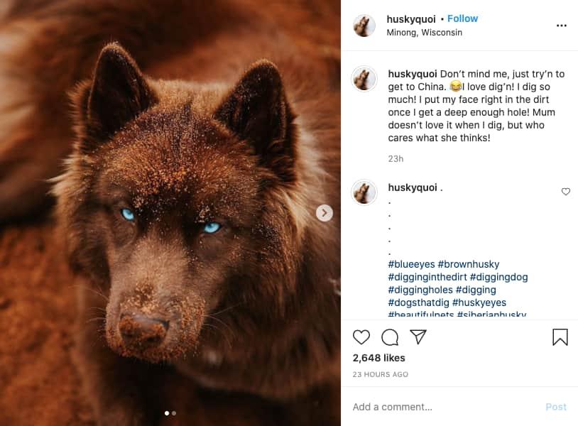 foto tirado do instagram do cão husky siberiano castanho de olhos azuis