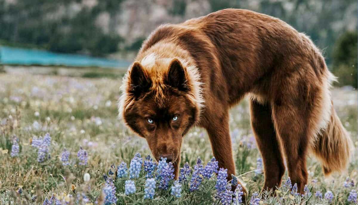 cão husky siberiano confundido por lobo com pelugem castanha