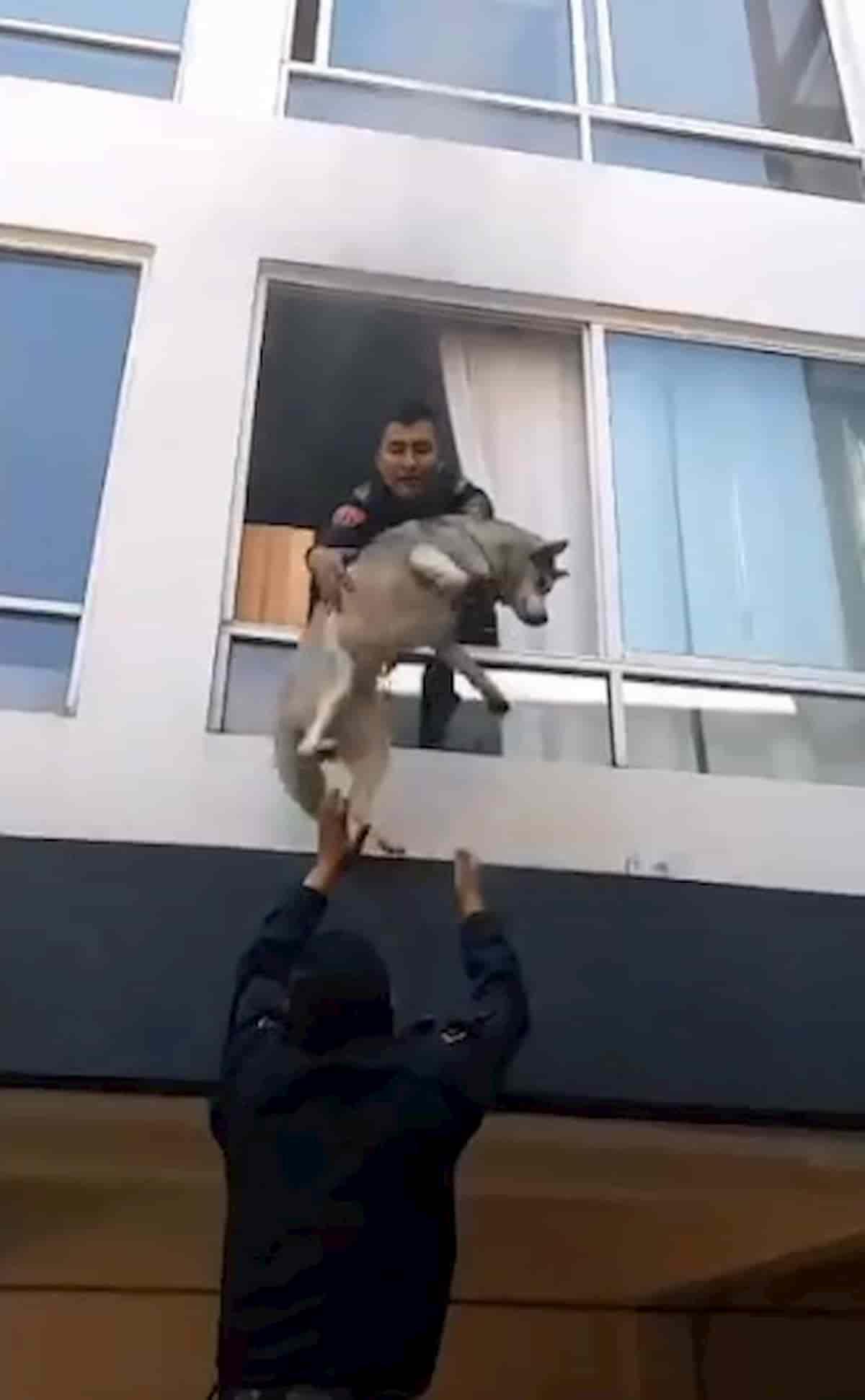 cão husky siberiano a ser resgatado pela janela
