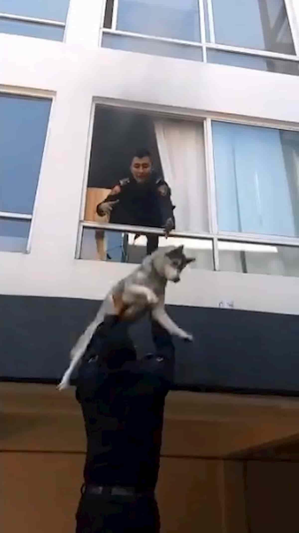 cão husky a ser resgatada e apanhado pela polícia em apartamento em incêndio
