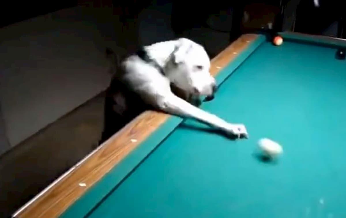 Cão joga bilhar
