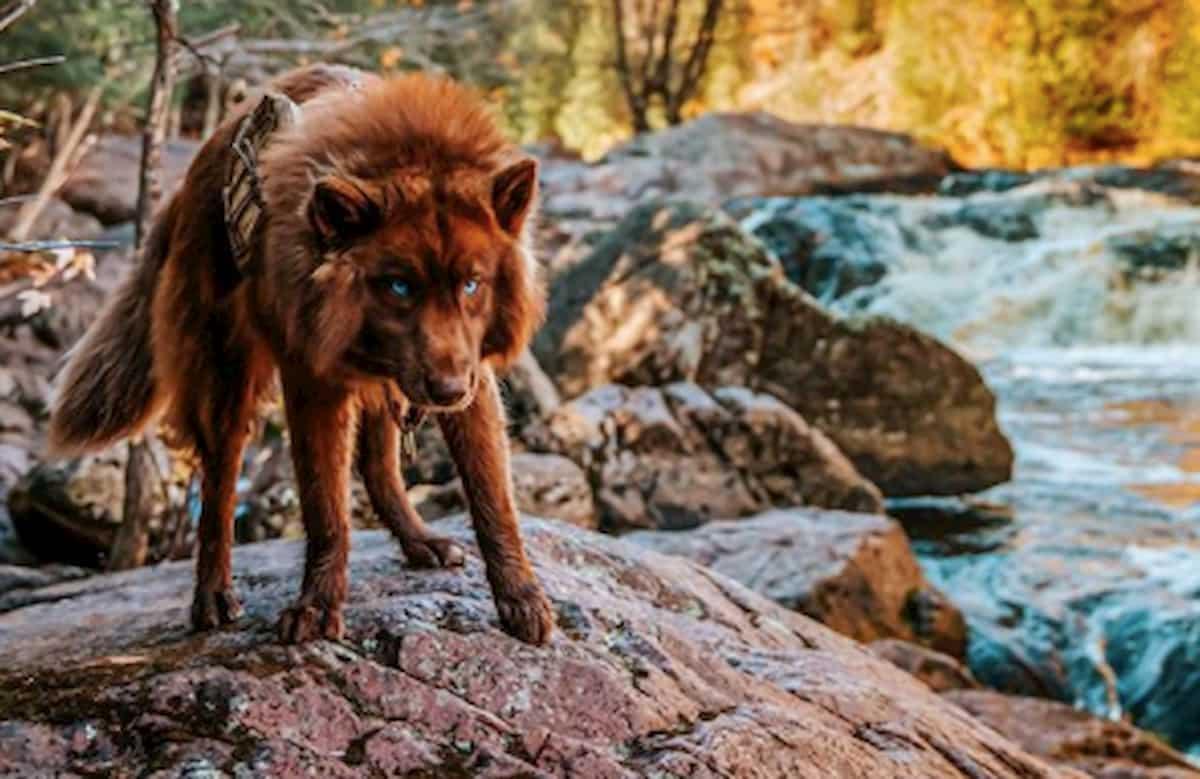 cão husky siberiano parece um lobo no meio e um rio