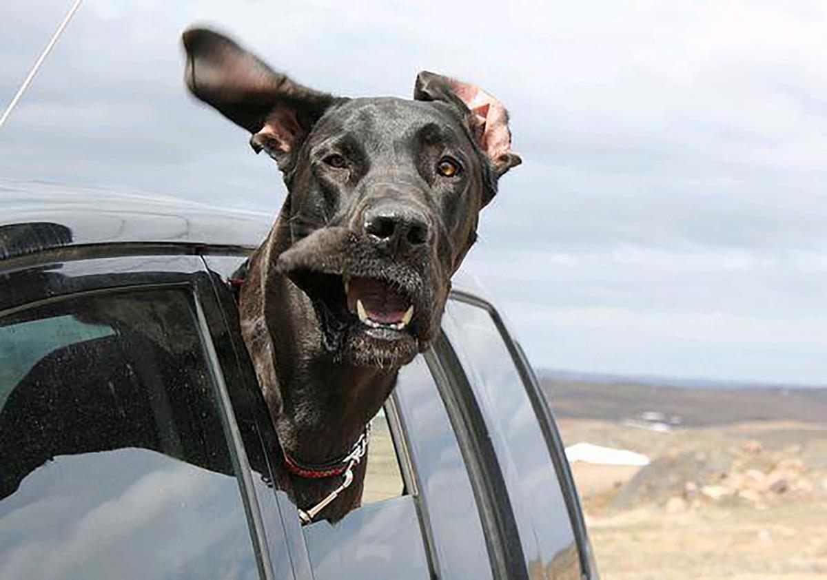 cão a viajar com a cabeça de fora no carro, feliz