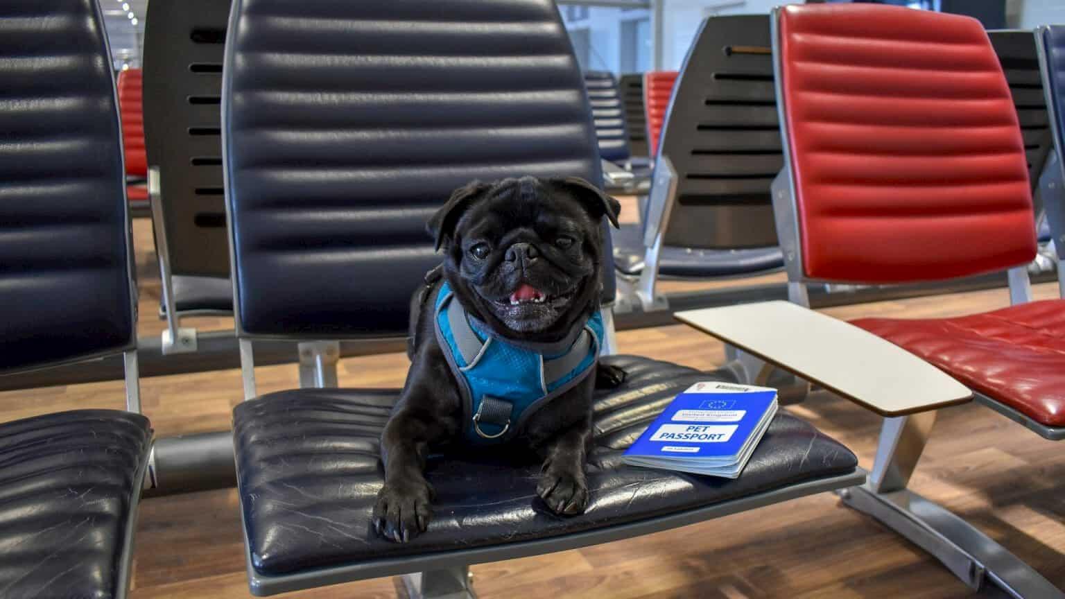 cão pug sentada no aeroporto com passaporte