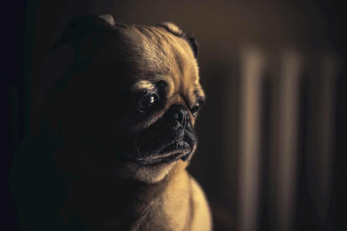 cão com olhar triste