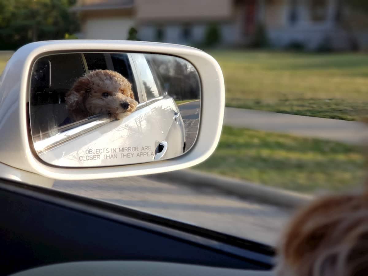 cão caniche a olhar num espelho dentro de um carro