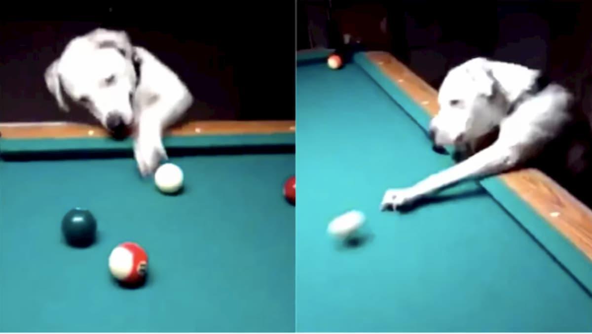 vídeo mostra cachorro jogar bilhar