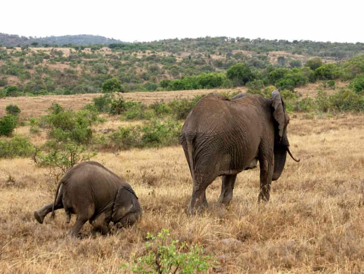 elefante bebe a cair, no meio da selva, wildlife, comedia