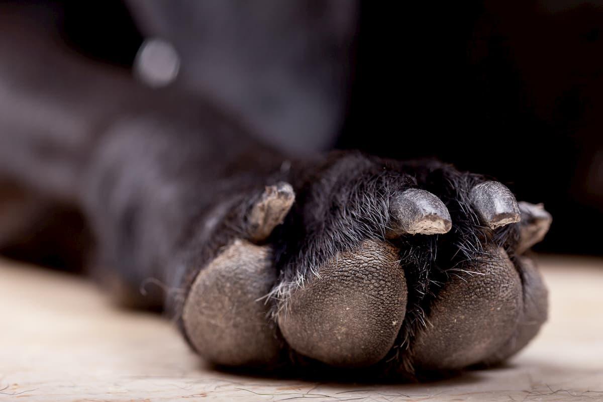 Como cortar as unhas do cão, imagem de unhas de um cão