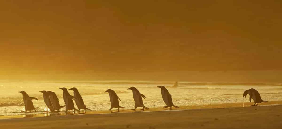 bando de pinguins, um a vomitar no fundo