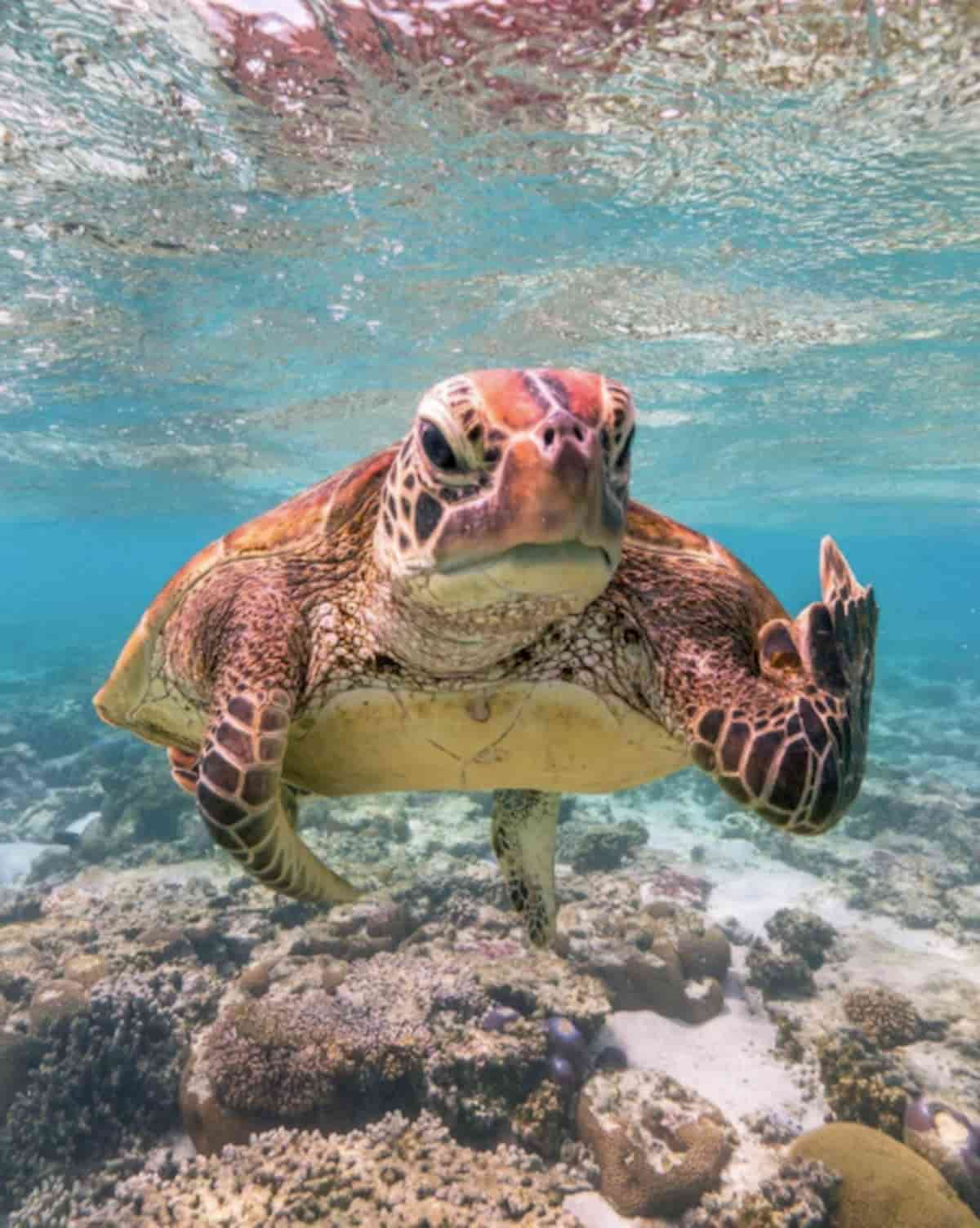 tartaruga selvagem a mostrar o dedo do meio ao fotografo