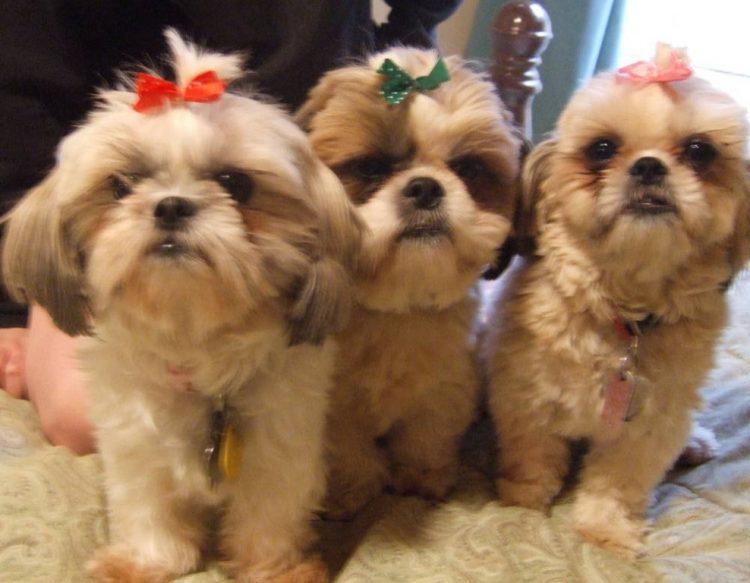 Tres cães shih-tzu fofinhos