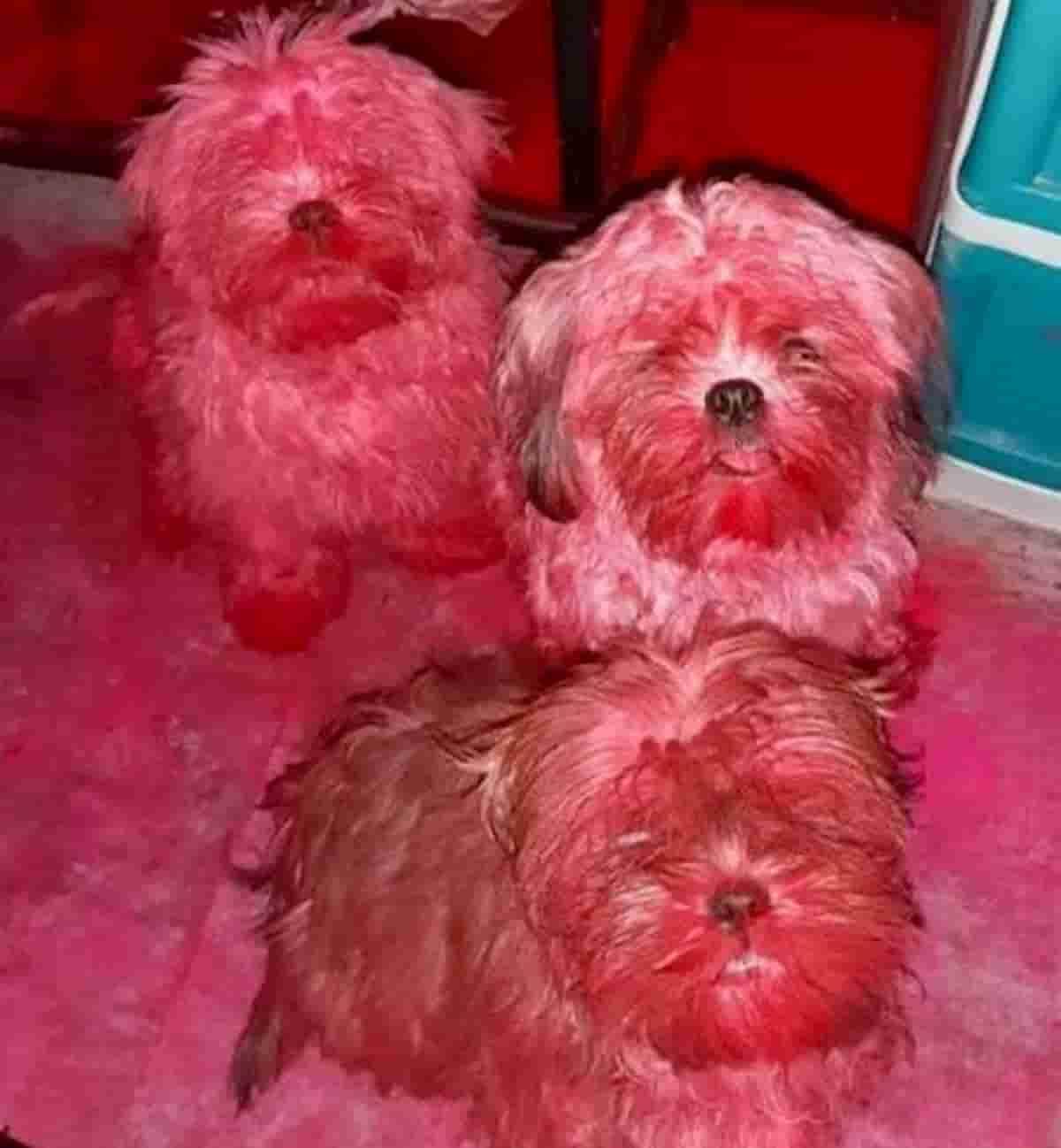 cães shih tzu cobertos de pigmento rosa de maquilhagem