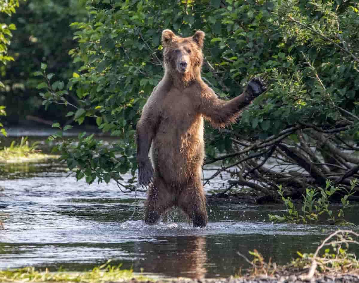 urso no rio a disser olá, wildlife