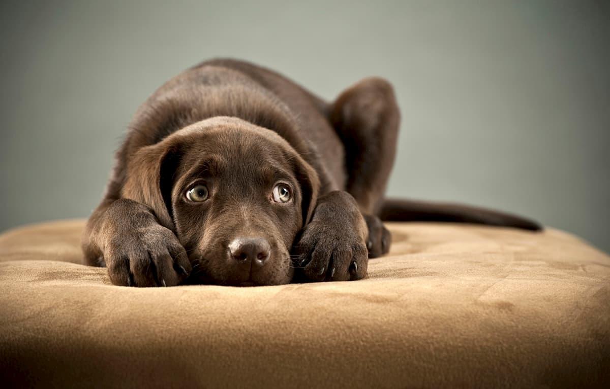 Sintomas de ansiedade canina