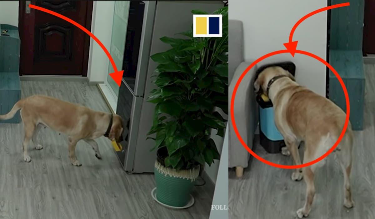 Cão labrador super inteligente