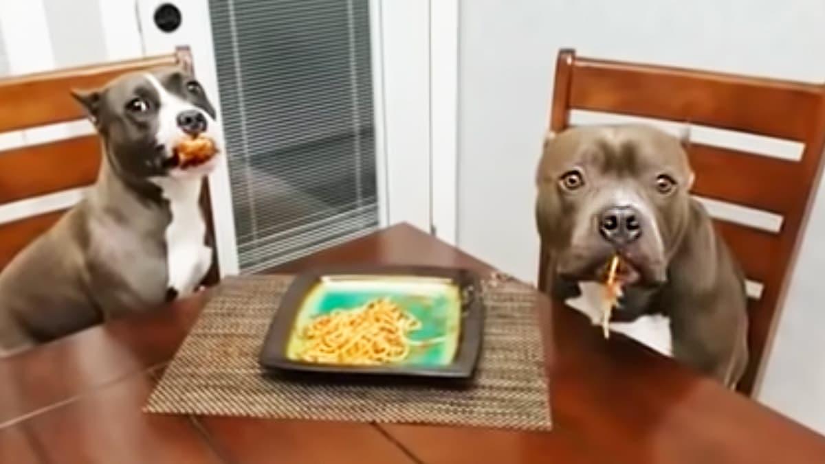 Cães pitbull apanhados em flagrante