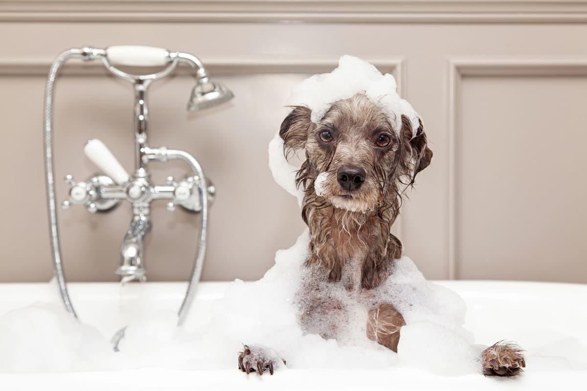 Dar banho ao cão, quantas vezes o deve fazer