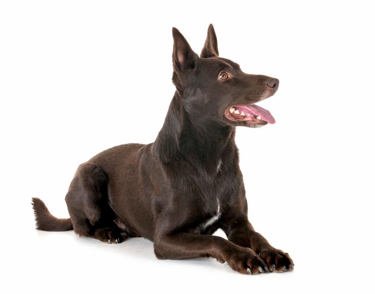 raça Kelpie do cão