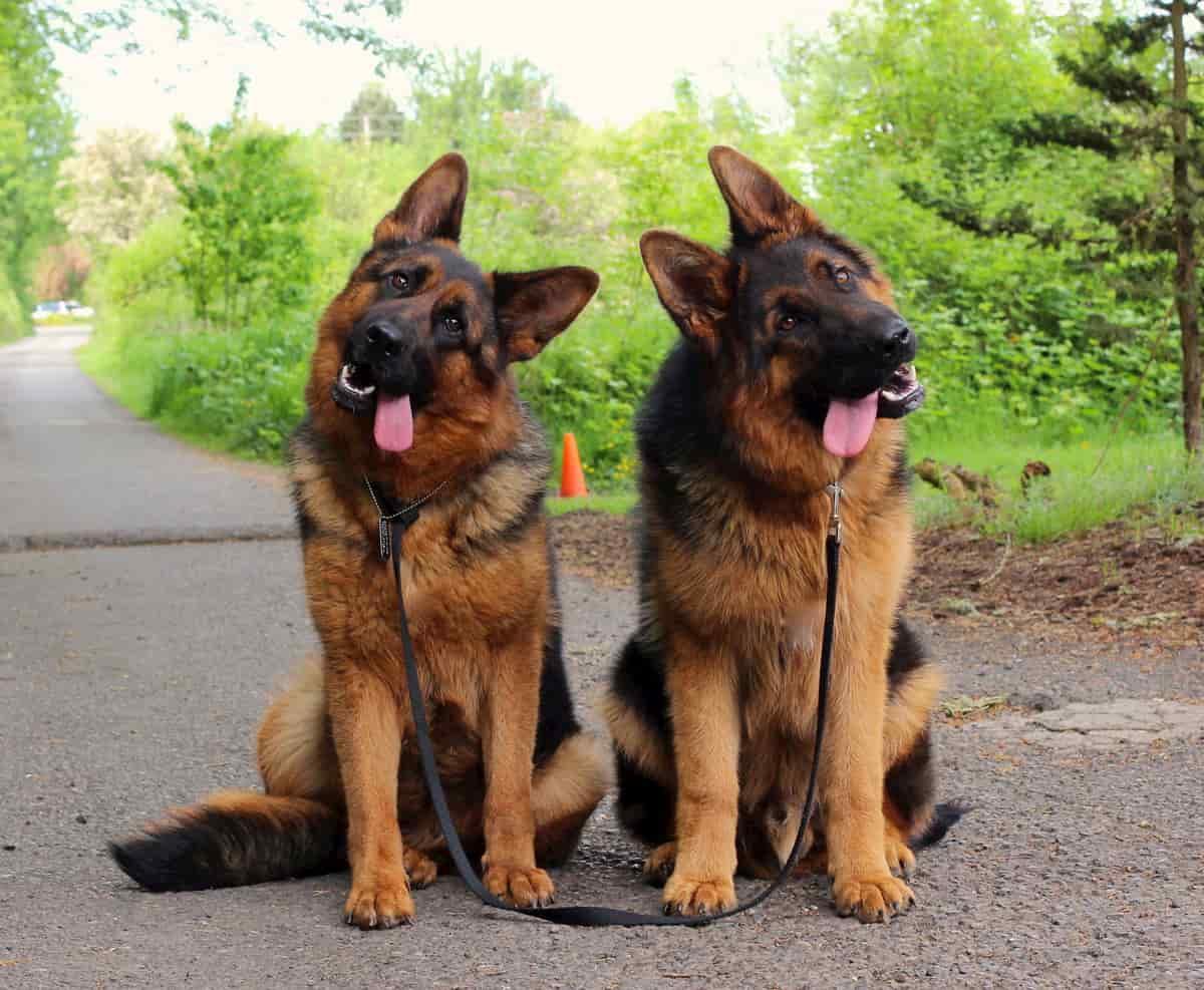 Cães inclinam a cabeça