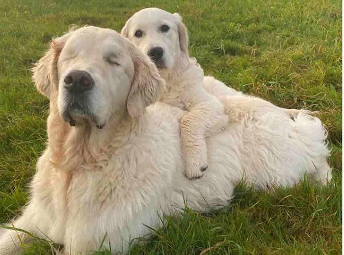 cães golden retriever juntos um ao lado do outro