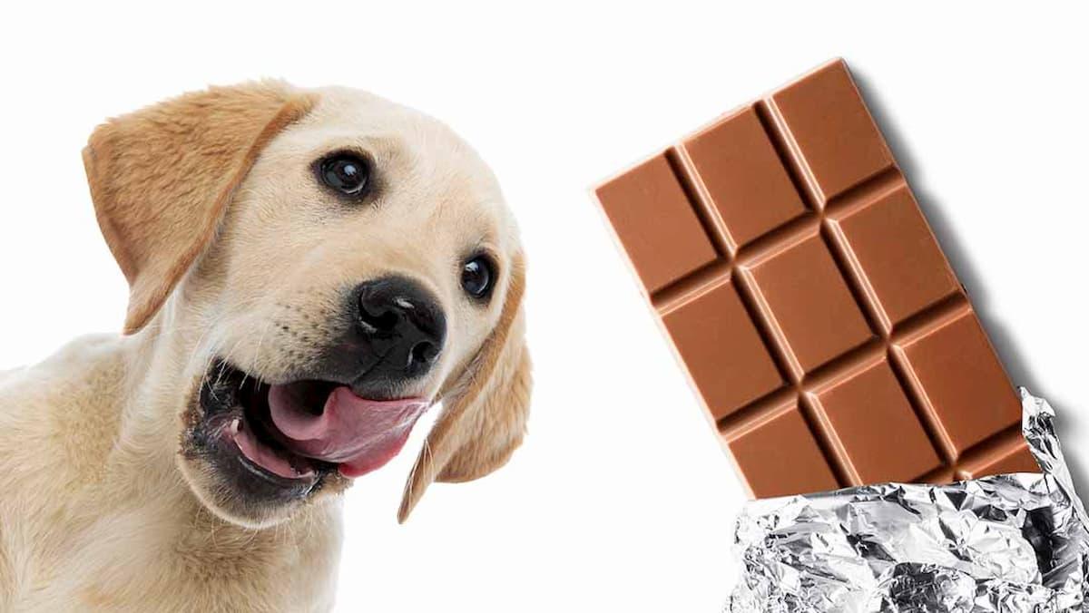 cão comer alimentos prejudiciais
