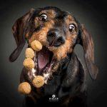 cães apanhar biscoitos