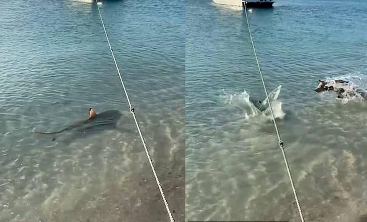 cão ataca tubarão