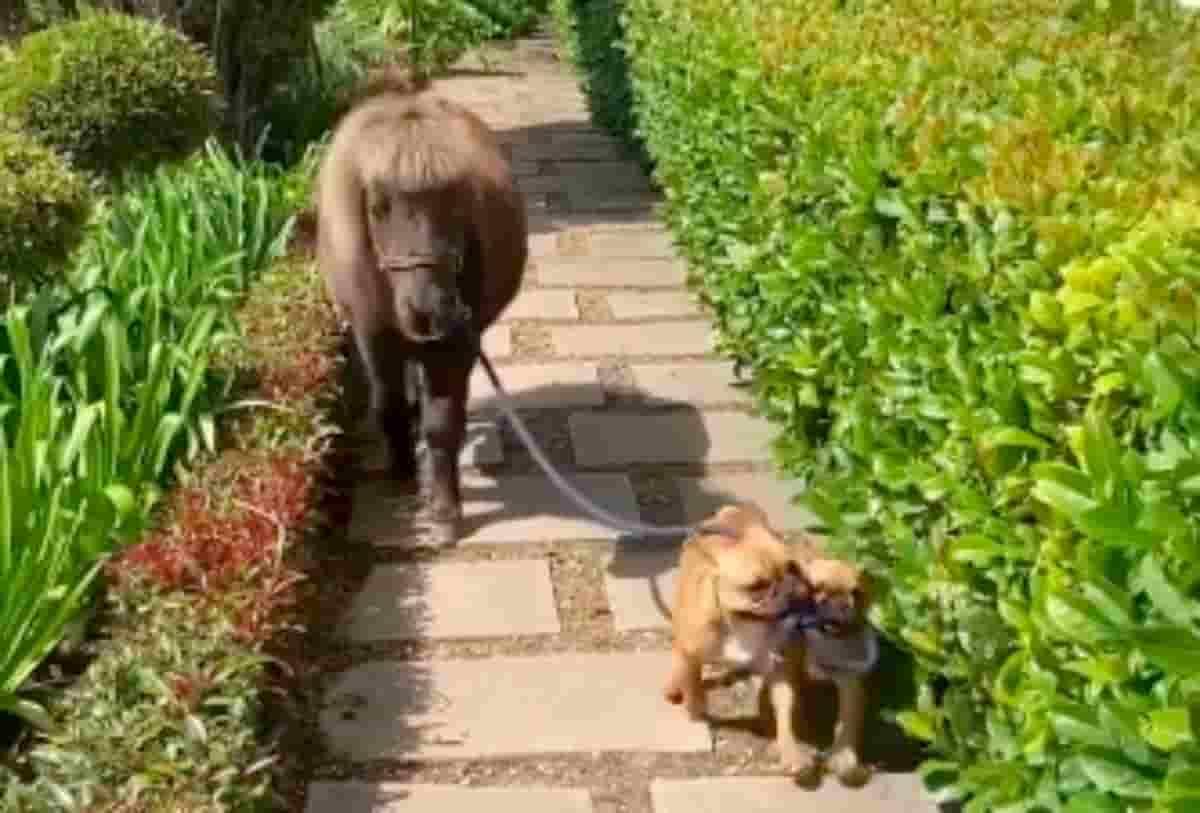 cães bulldog francês a passear cavalo anão