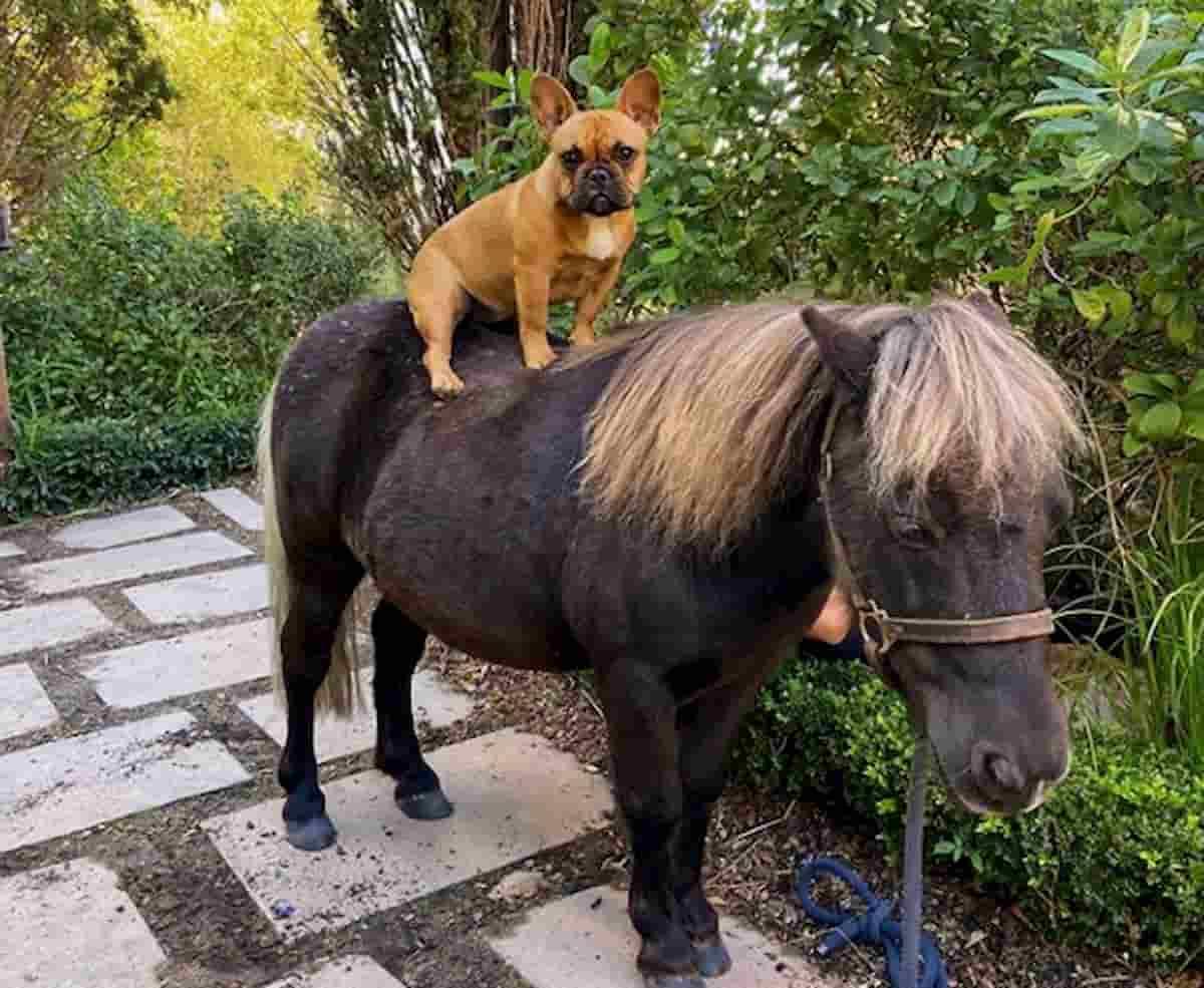 cão bulldog frances, leva cavalo anão a passear