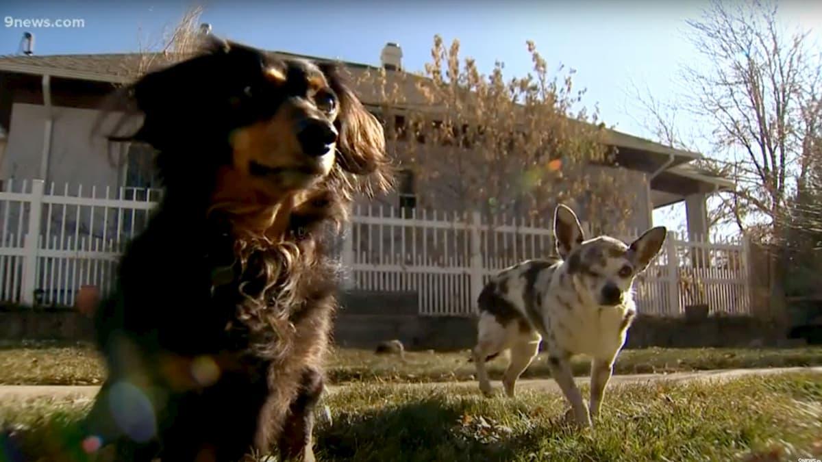 cão dachshund com o seu parceiro mijo