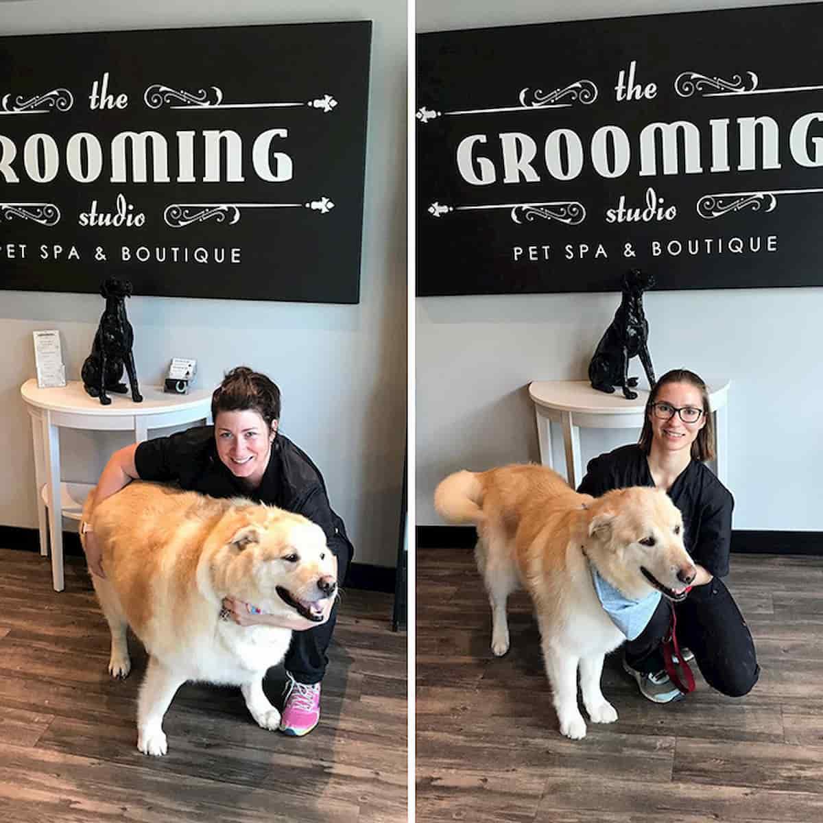 cão golden retriever antes quando era gordo e depois de emagrecer