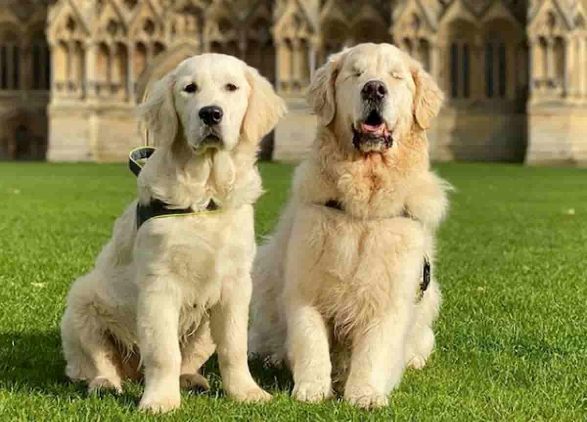 cães golden retriever, oko e tao