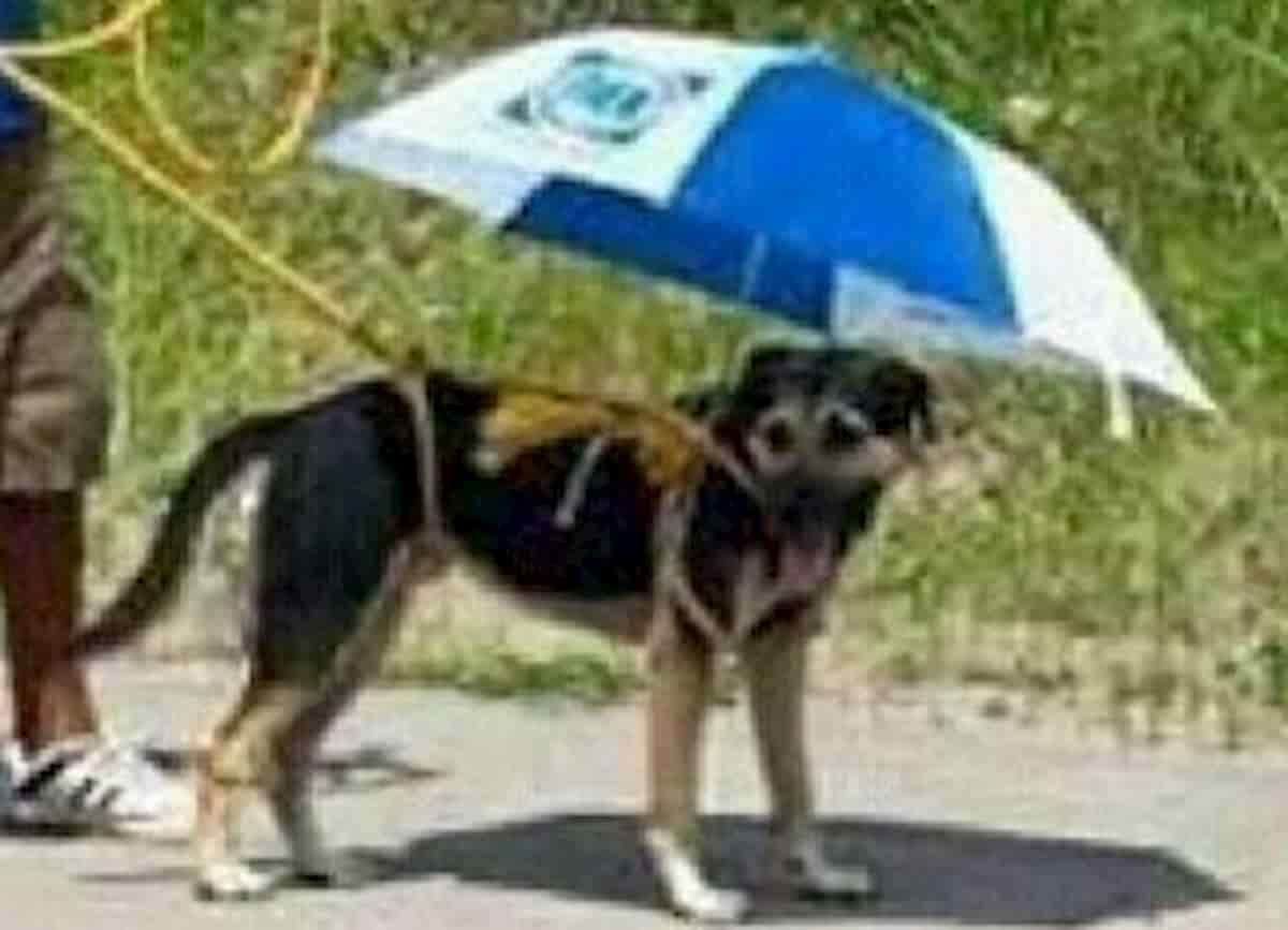 cão protegido com guarda sol