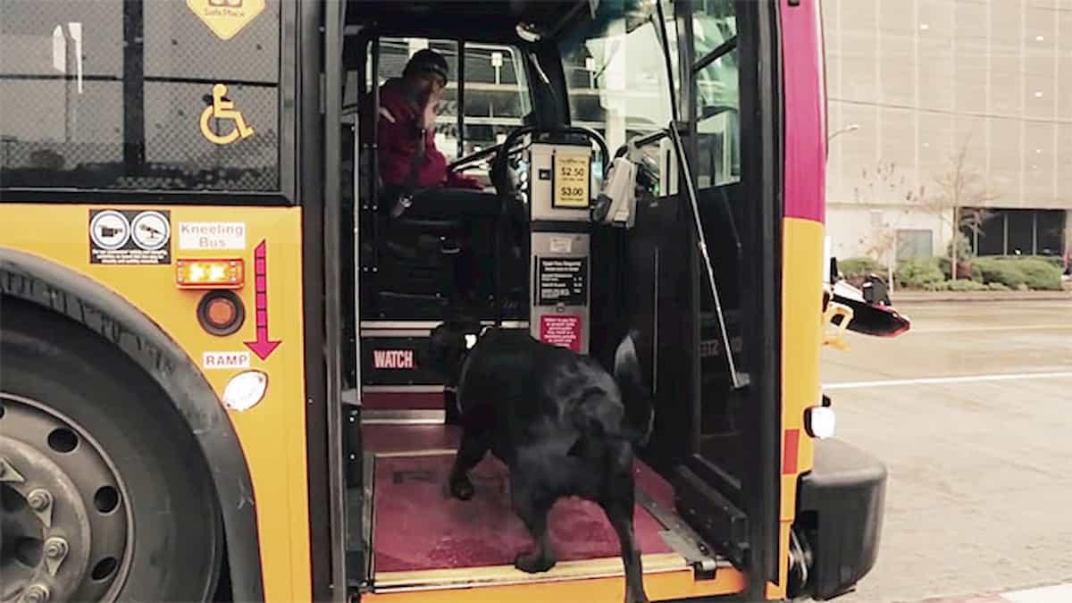 cão labrador apanha autocarro para ir passear ao parque