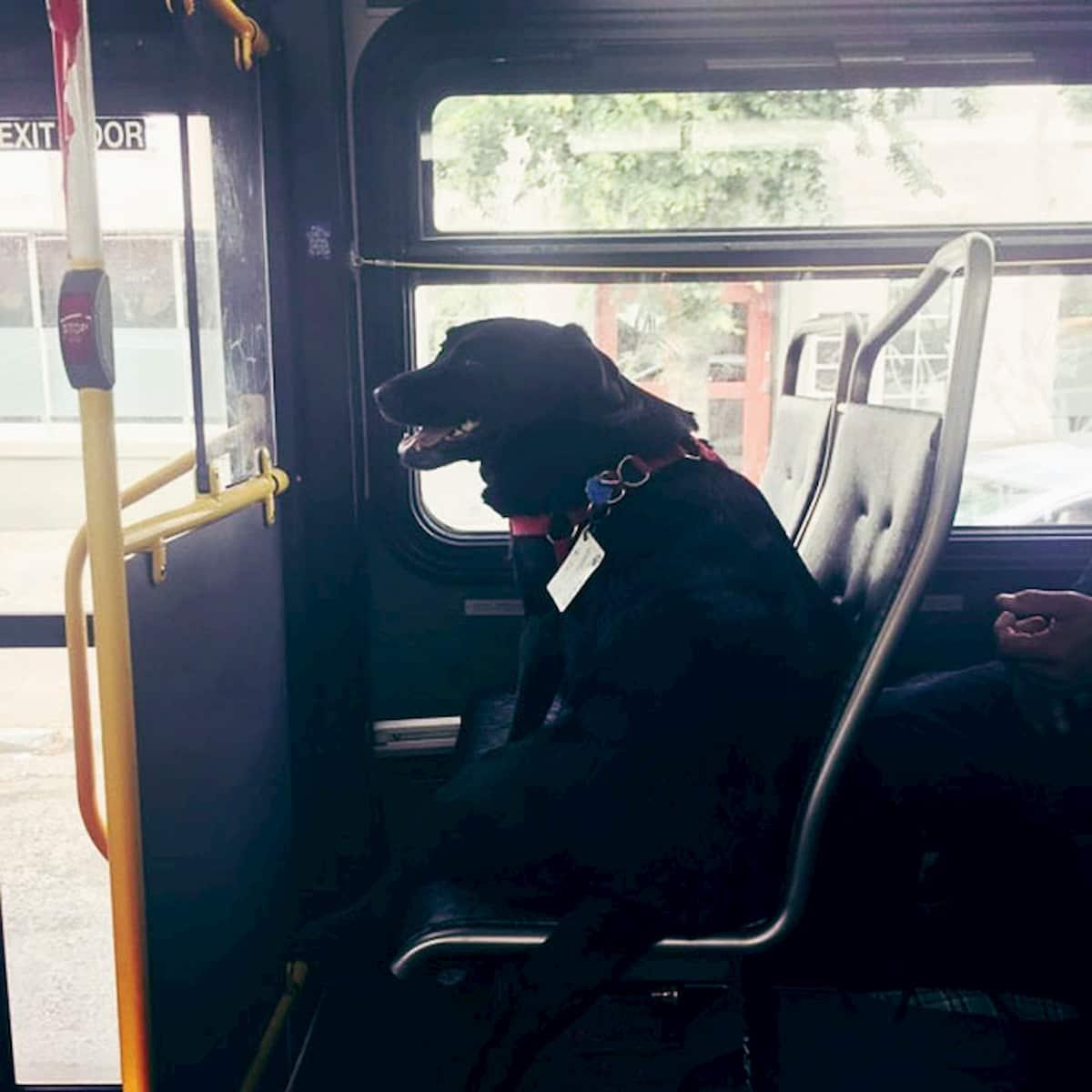 cão labrador apanha autocarro para ir para o parque