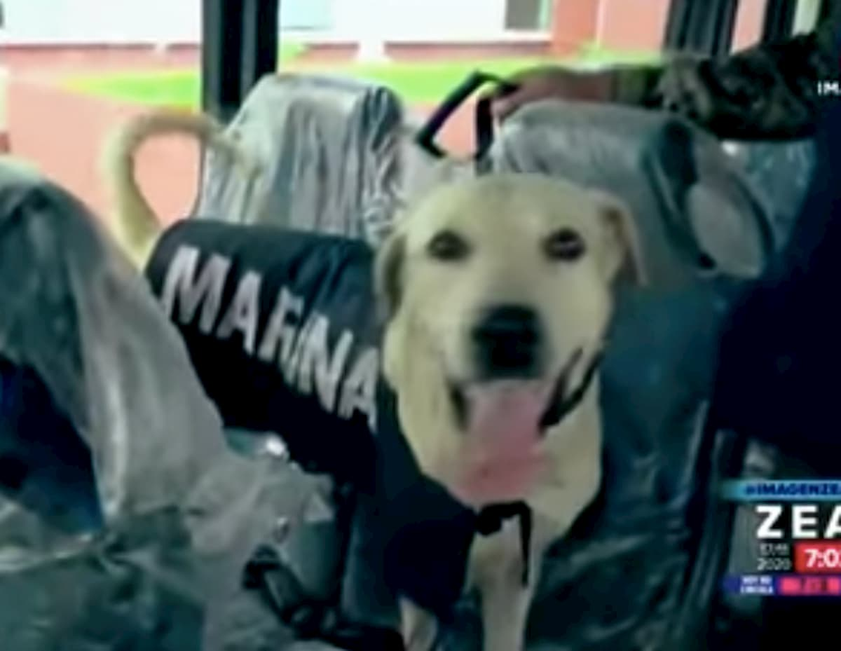 cão encontrado nas ruas abandonado agora é membro da marina de méxico
