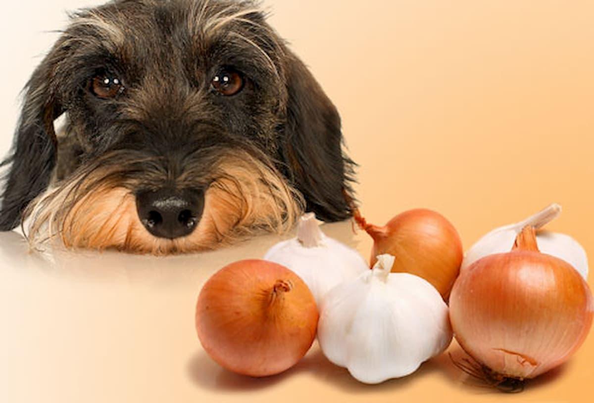cão a olhar para cebolas e alhos, alimentos que cão não pode comer e são prejudiciais