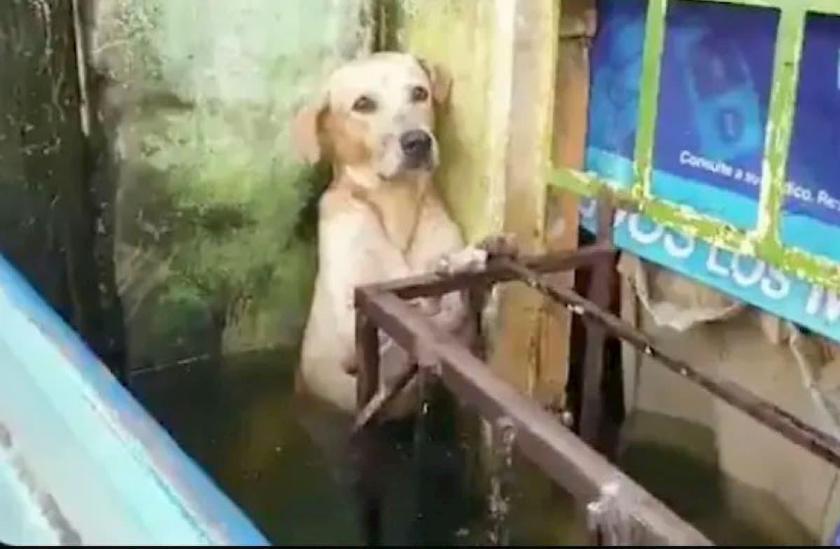 cão encontrado nas ruas de méxico, triste e assutado nas inundações