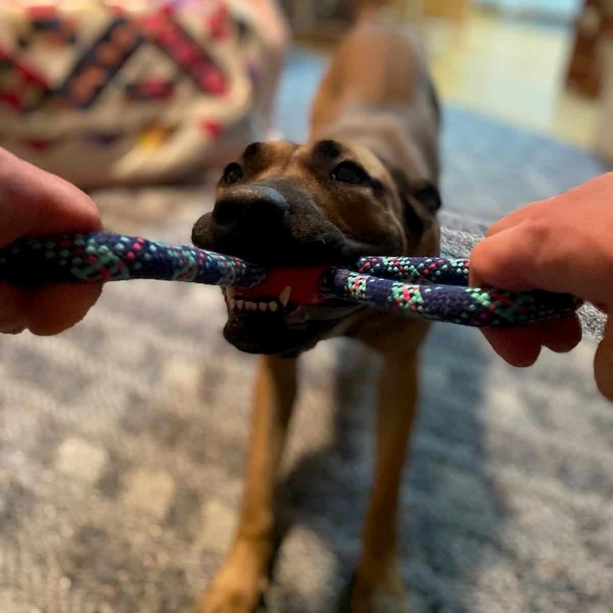 cadela a brincar com corda