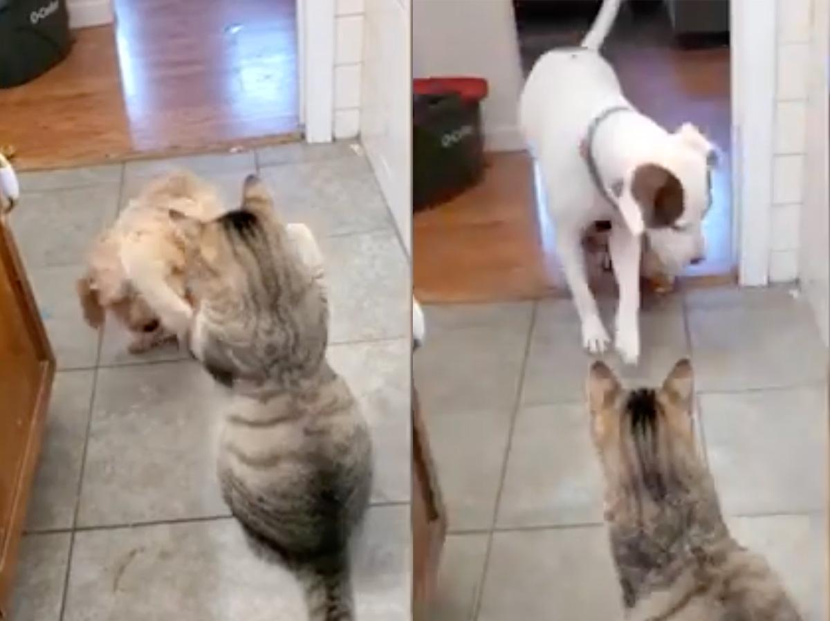 Cão chama amigo patudo para assustar o gato