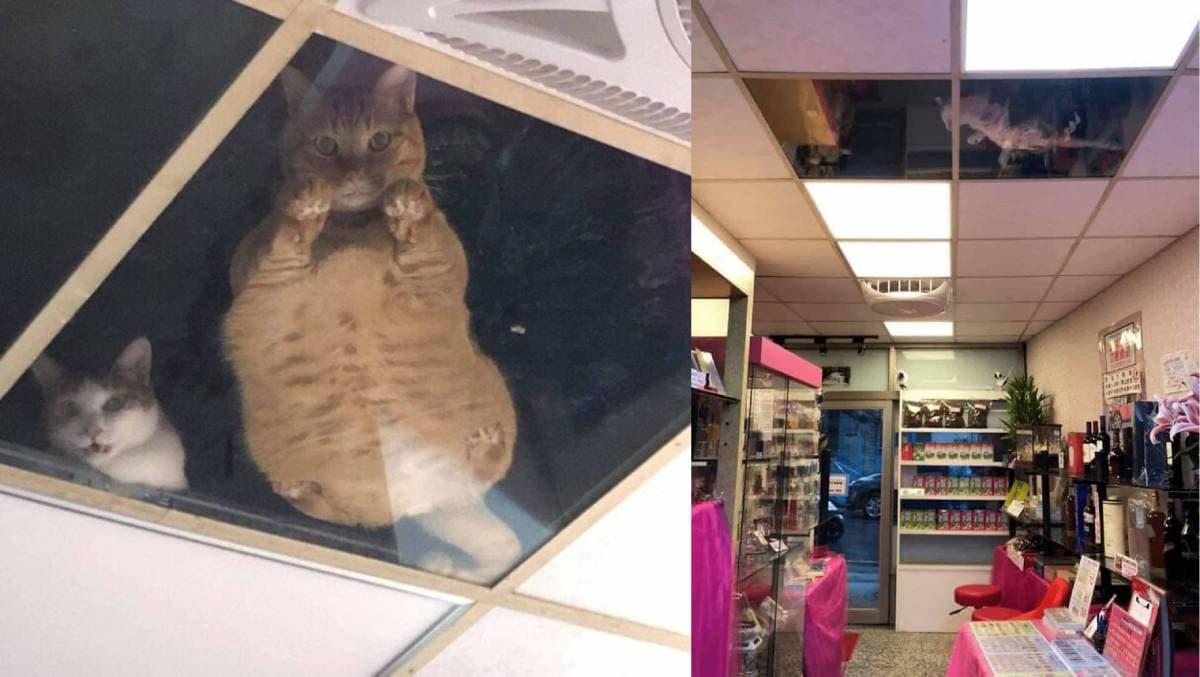 gatos relaxados a ver por dentro do teto de vidro da loja do dono