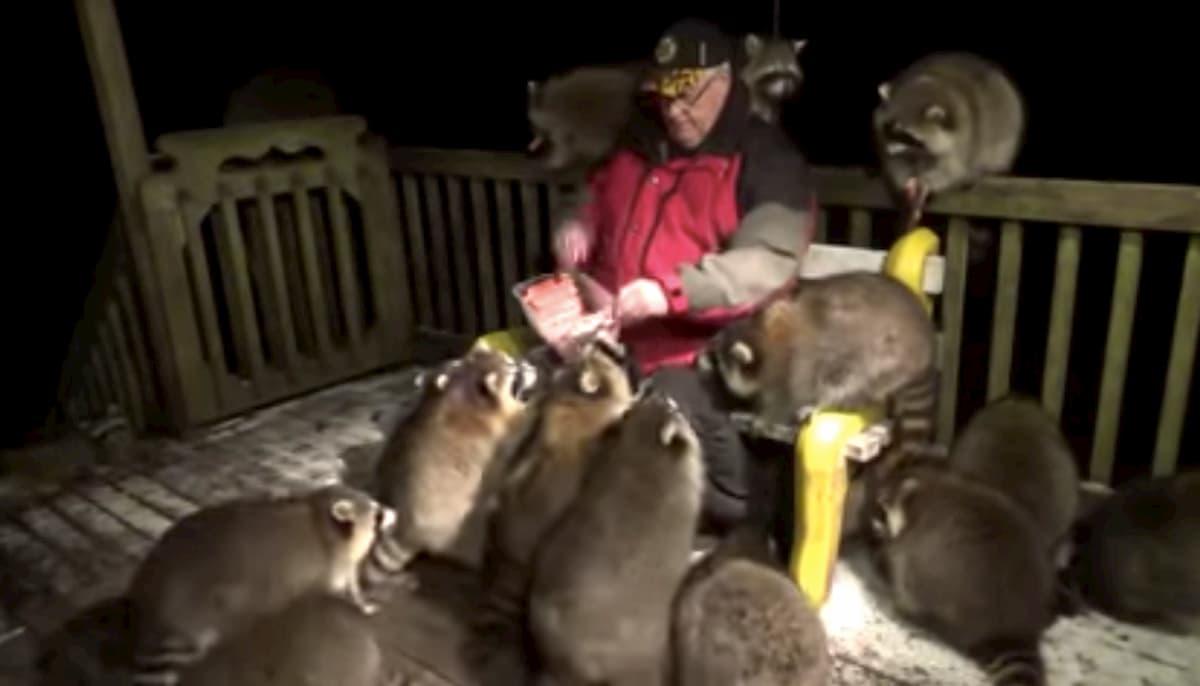 homem alimenta guaxinins em Canada
