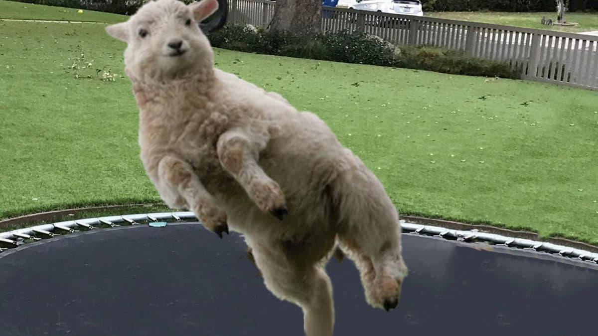 Ovelha a saltar no trampolim