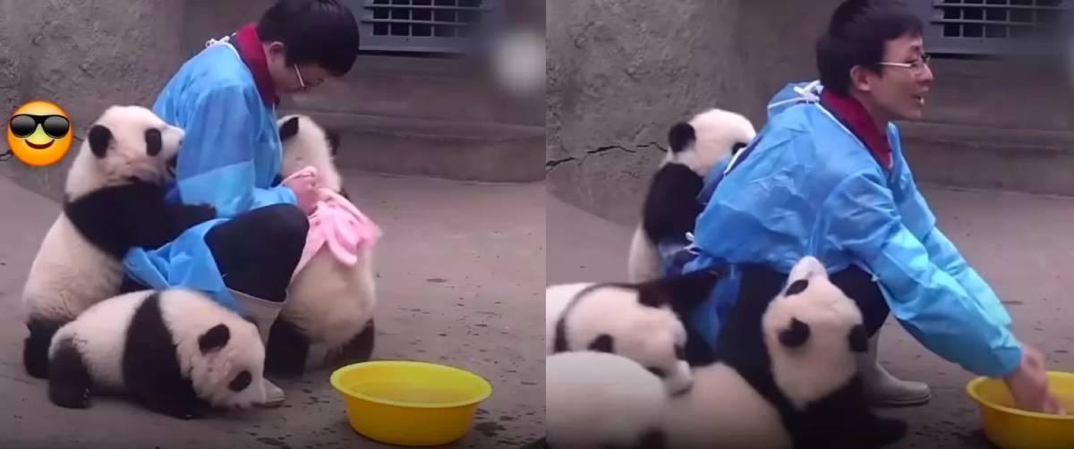 pandas bebés a tomar banho no zoológico